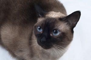 Siamese Cats Diseases predisposed