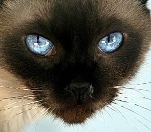 Common Siamese Cats Diseases
