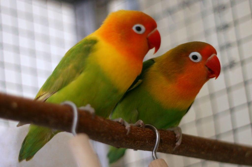 Citaten Love Bird : Practical techniques for care and maintenance agaporni