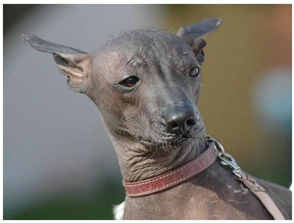 Peruvian Dog