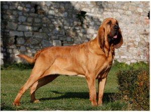 diseases of the Dog of San Hubert