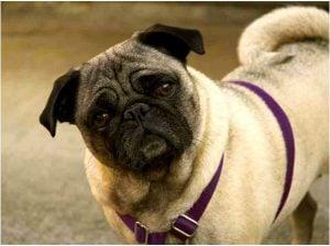 Disadvantages of having a dog pug