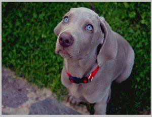 Weimaraner Dog for sale
