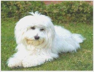 Maltese Bichon puppies