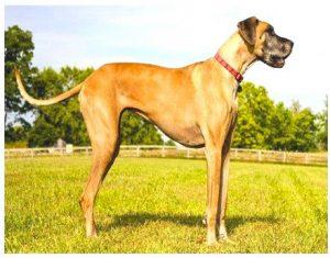 Great Danish dog