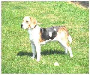 Beagle dog price