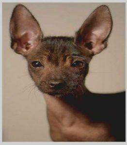 Xoloitzcuintli dog for sale