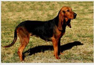 Hunting Dog africa