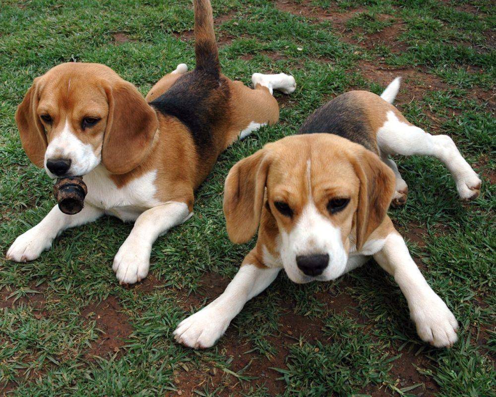 medium dogs breed