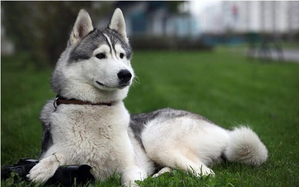 How to take care of a Siberian dog