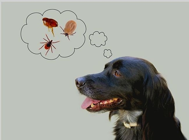 remove ticks from dogs
