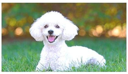 smartest dogs breeds