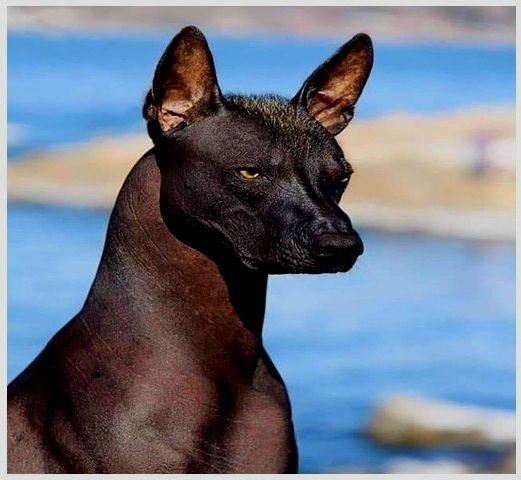 Xoloitzcuintli dog for adoption