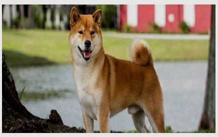 Japanese dogs akita