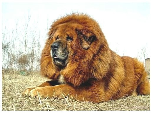 big hairy dogs retail pro