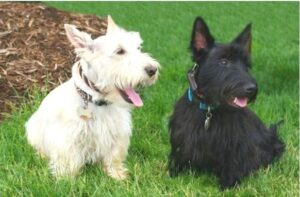 Scottish Terrier price