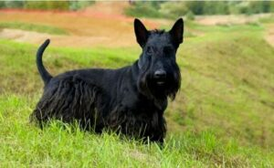 Scottish Terrier temperament