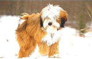Tibetan Terrier rescue