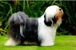 Tibetan Terrier for sale