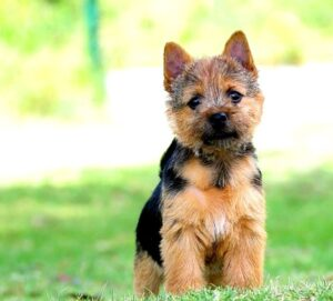 Norwich Terrier adoption