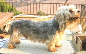 Dandie Dinmont Terrier for sale