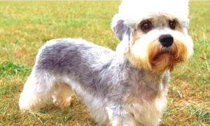Dandie Dinmont Terrier cost