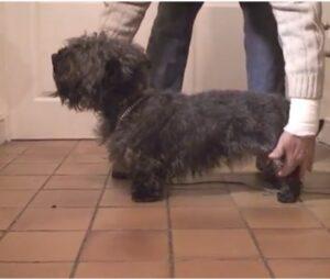 Glen of Imaal Terrier breeders
