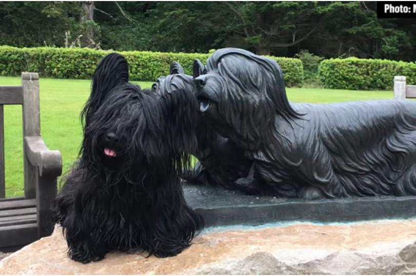 Skye Terrier for sale