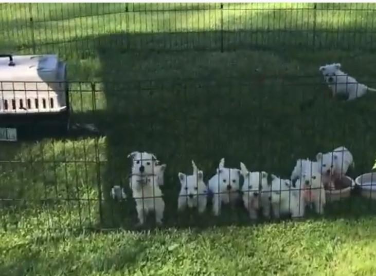 Highland White Terrier price