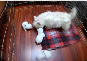 Highland White Terrier for sale