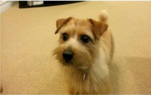 Norfolk Terrier for sale