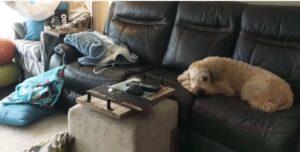 Soft Coated Wheaten Terrier puppies uk