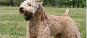 Soft Coated Wheaten Terrier price