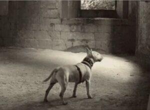 Bull Terrier negro