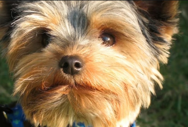 Adorable Yorkshire Terrier names